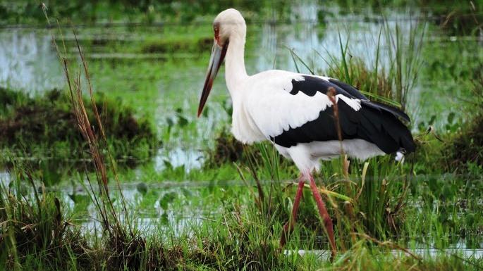 Aves de los esteros del Iberá
