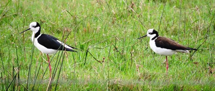 Aves de la reserva de los Esteros del Iberá