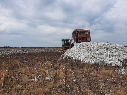 algodon cosecha